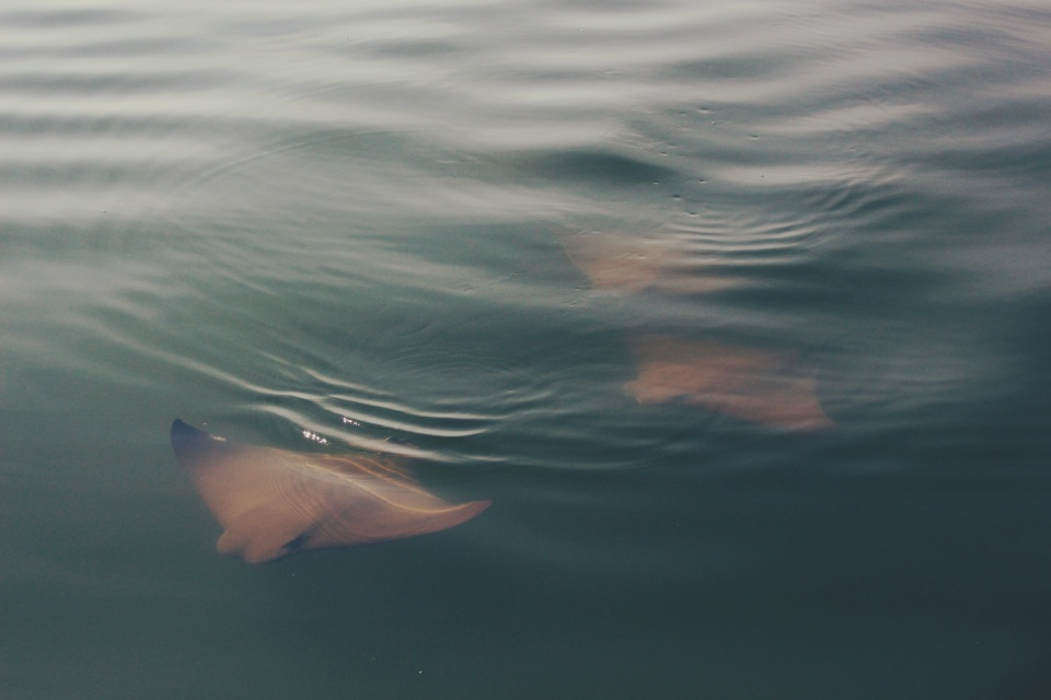 Cownose Ray_Stock
