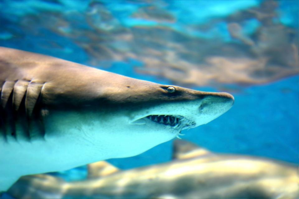 shark angry copy