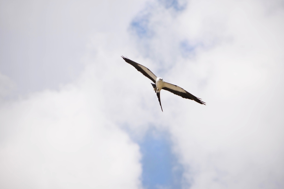 Swallow-tailed Kite Trip11