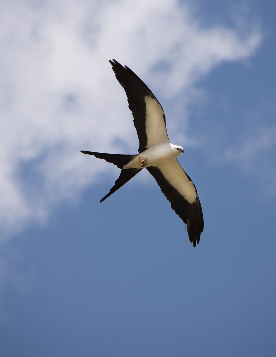 Swallow-tailed Kite11