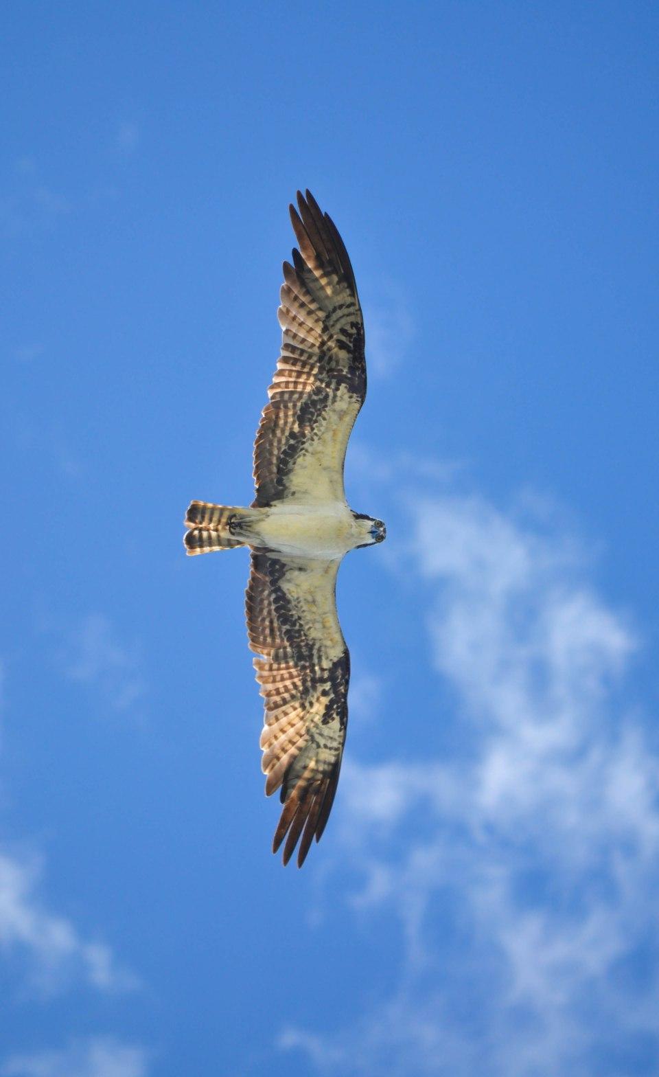 KQuinn Osprey (1 of 1)
